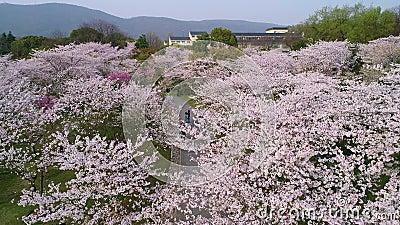 航拍-中日友谊樱桃庭院