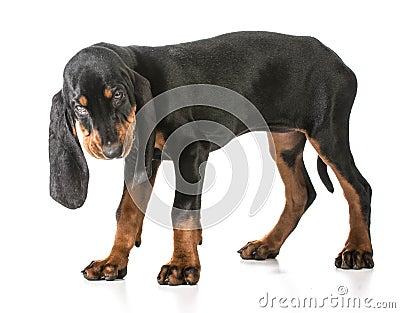 黑色猎浣熊的猎犬棕褐色