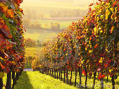 色的被日光照射了葡萄园