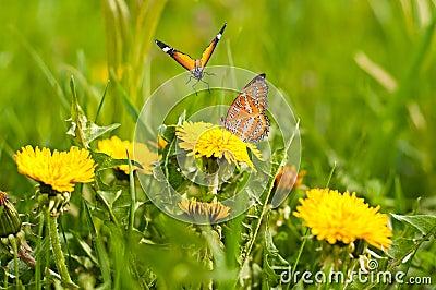 黄色蒲公英和蝴蝶春天草甸.