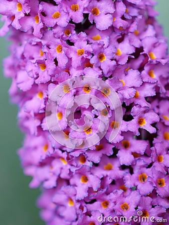 醉鱼草属资料蝴蝶a通常灌木花通常查找了丁香许多一起通常被命名其他.丁香花晒干泡水喝图片