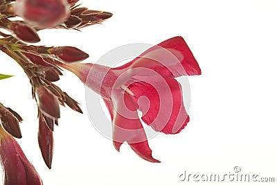 花强壮的夹竹桃红色