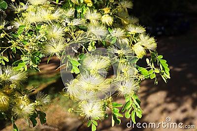 当地热带澳大利亚raintree合欢树lebbeck或者合欢与美丽的充满香气