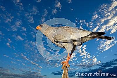 苍白歌颂的苍鹰