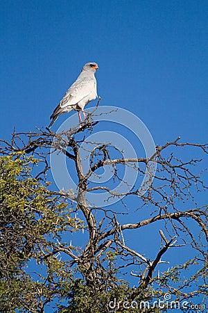 苍白歌颂苍鹰