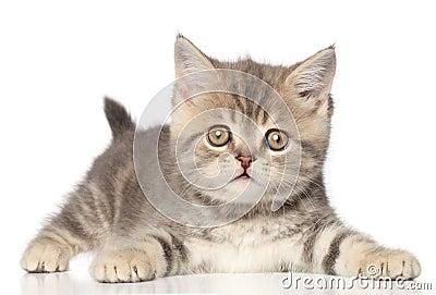 苏格兰平直的小猫