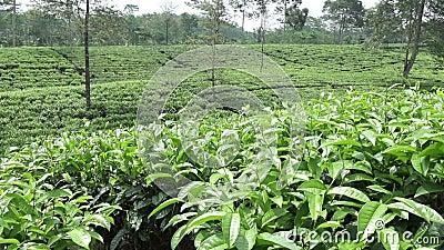 茶园在Wonosobo borobodur印度尼西亚Java 股票视频