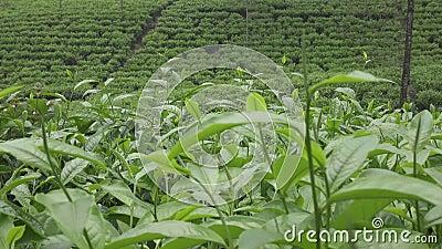 茶园在Wonosobo borobodur印度尼西亚Java 股票录像