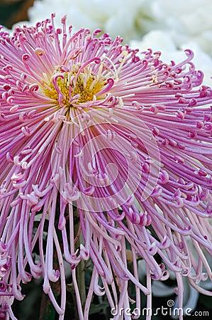 菊花粉红色