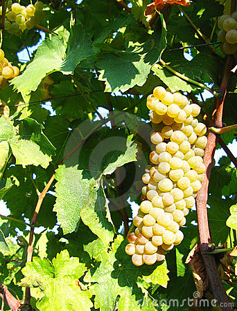 葡萄停止的白色