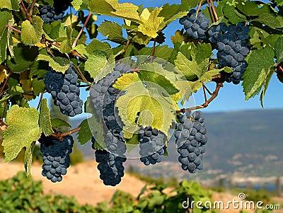 葡萄墨尔乐红葡萄酒