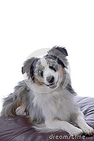 蓝眼睛的微型澳大利亚牧羊人