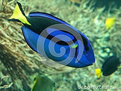 在水族馆的蓝色特性(异乎寻常的热带鱼)游泳.图片