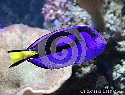 美丽的蓝色热带鱼海洋的特性.图片