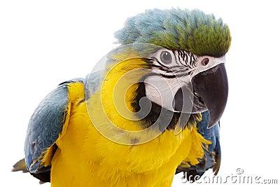 蓝色金刚鹦鹉黄色