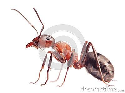 蚂蚁在白色的胶木rufa