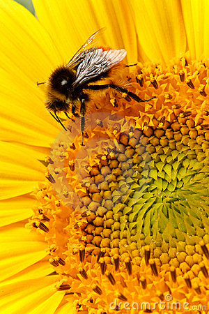 蜂特写镜头向日葵