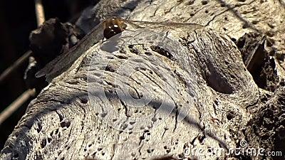 蜻蜓&蚂蚁在老池塘采伐Grandview国家公园, WV 股票录像