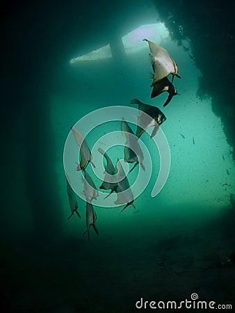 蝙蝠鱼鳍类的pinnatus platax