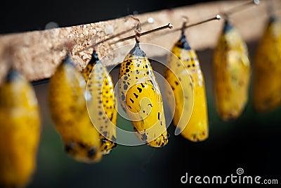 图库摄影: 蝴蝶蛹图片