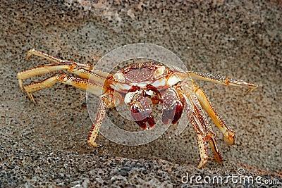 螃蟹夏威夷人