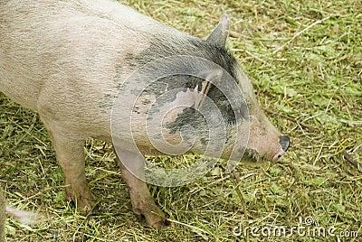 被察觉的毛茸的猪
