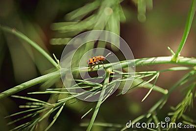 被察觉的芦笋甲虫