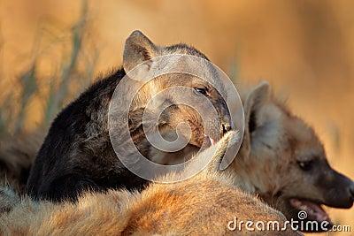 被察觉的鬣狗小狗