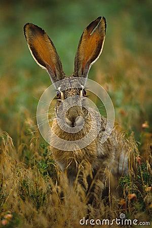 被盯梢的黑色长耳大野兔