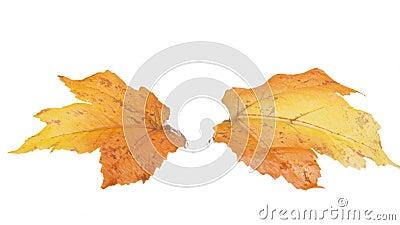 被隔绝的两片秋天叶子