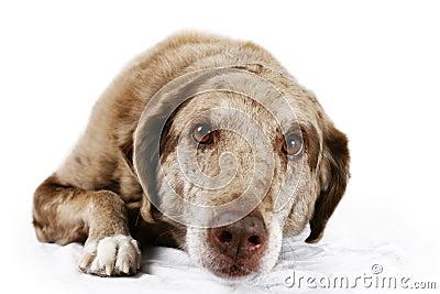 褐色被注视的狗纵向