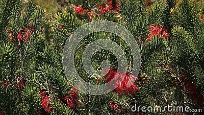 西部澳大利亚柔滑有叶的血液花关闭