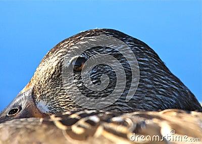 警惕鸭子的眼睛