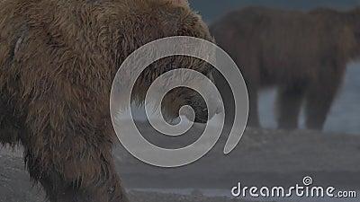 设法的棕熊抓鱼 股票视频