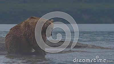 设法的棕熊抓鱼 影视素材