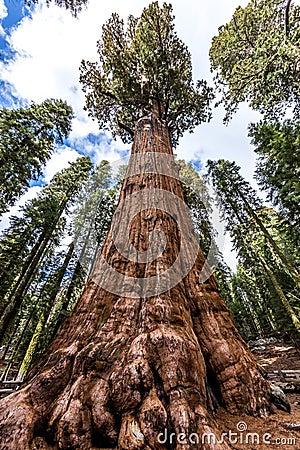 谢尔曼将军树在巨型美国加州红杉森林里