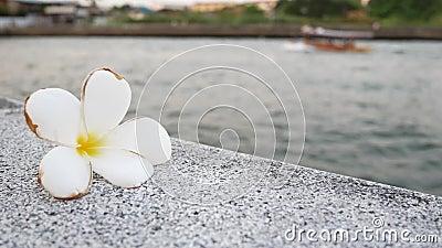 赤素馨花开花与河和小船在背景中 股票视频
