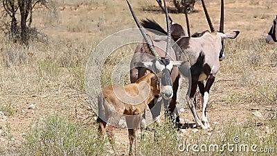 走动的大羚羊 股票视频