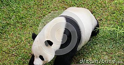 走在动物园的逗人喜爱的熊猫 股票录像