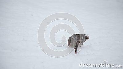 走在雪的野鸭 股票录像