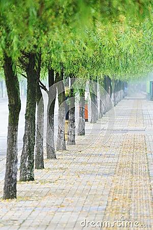 路平直的杨柳