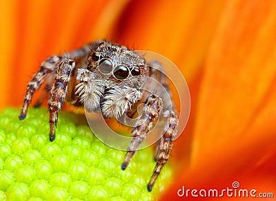 跳的蜘蛛火鸡