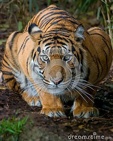 蹲下的老虎