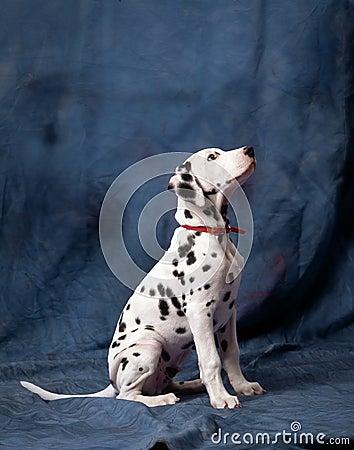 年轻达尔马提亚狗