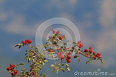 际通配分行灌木秋天玫瑰色的玫瑰. -通配分行的玫瑰 21864060