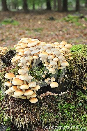 采蘑菇硫磺一束