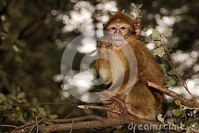 巴贝里猿(猕猴属sylvanus)在近雪松木头