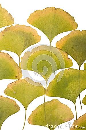 银杏树叶子
