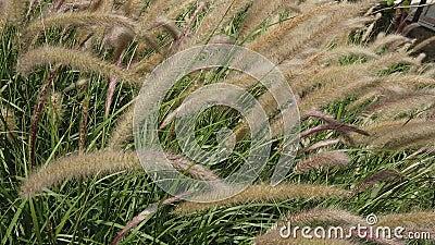 银草植物 影视素材