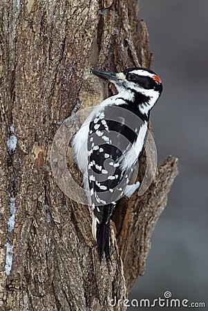 长毛的啄木鸟(Picoides villosus)